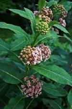 Milkweed, Syriaca, 1g