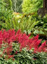 Astilbe, Fanal Red, 1 gal