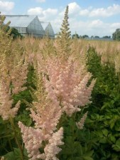 Astilbe, Vision Inferno, 1 gal
