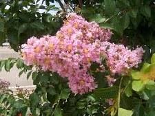Crape, Basham's Pink, 15 gal