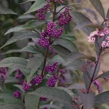 Beauty Berry, Purple Pearls 3g