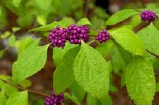 Beautyberry, American, 3 gal
