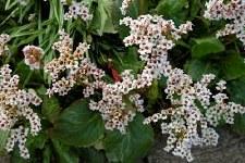 Bergenia, Bressingham White 1g