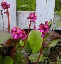 Bergenia, Winter Glow, 1or2 g