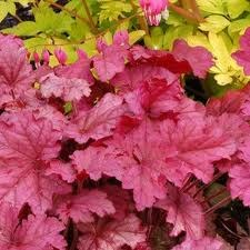 Heuchera, Berry Smoothie 1or2g