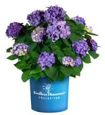 Hydrangea, BloomStruck®, 2or3g