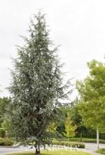 Cedar, Atlas Fastigi, FTM 45g