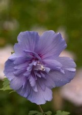 Althea, Blue Chiffon®, 3 gal