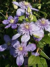 Clematis, Blue Light, 2 gal