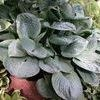 Hosta, Blue Umbrella, 1or2 gal