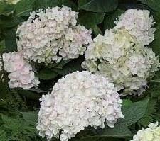Hydrangea, BlushingBride®, 3 g