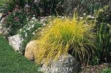Grass, Bowles Gold Sedge, 1gal