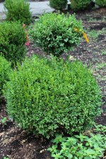 Boxwood, Green Mtn 2-Tier 3-4'