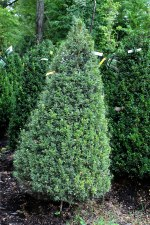 "Boxwood, American Cone, 30-36"""