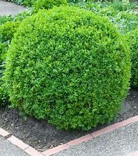 Boxwood, Dwf. English, 1g