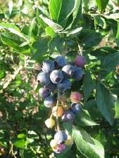 Blueberry, Brightwell, 1 gal