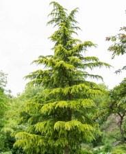 Cedar, Deodara Golden, 15g