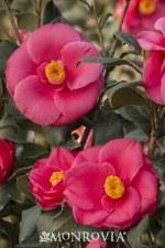 Camellia, Anacostia, 5 gal