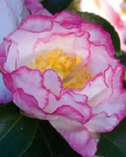 Camellia, Oct Magic Inspir, 3g
