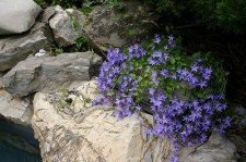 Campanula, BlueWaterfall,1or2g