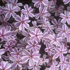 Phlox, Creep. Candy Stripe, 1g