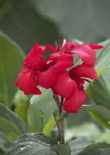 Canna, Cannova Rose, 3 gal