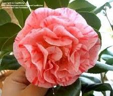 Camellia, Carter's Sunbrst, 5g