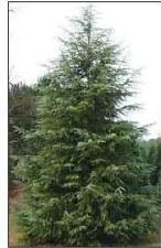 Cedar, Deodara, 15 gal