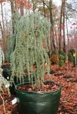 Cedar, SerpentineBlue, FTM6-7'