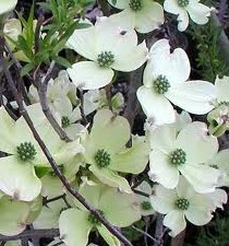Dogwood, Princess, 2-2.5""