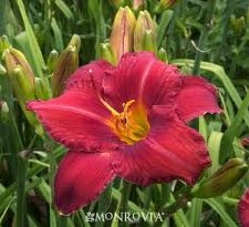 Daylily, Chicago Apache, 1or2g