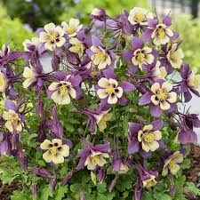 Columbine, Purple/Yellow 1gal
