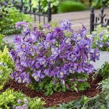Columbine, Purple/Blue 1gal