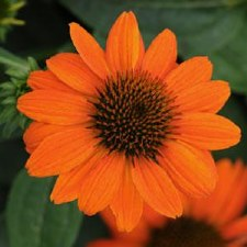 Coneflower, Adobe Orange,1or2g