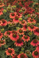 Coneflower, Flamenco Orange 1g