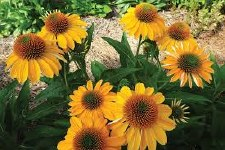 Coneflower, Granada Gold 1or2g
