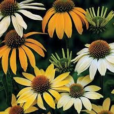 Coneflower, Mellow Yellows, 1g