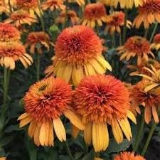 Coneflower, Orange Fascinate1g