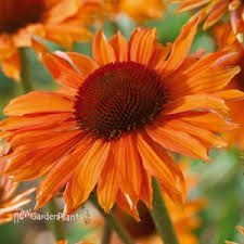 Coneflower, OrangePassion,1or2