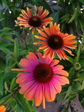 Coneflower, RainbowMarcel 1or2
