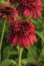 Coneflower, Raspberry Dbl 1g