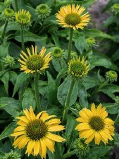 Coneflower, Sandy Yellow,1or2g