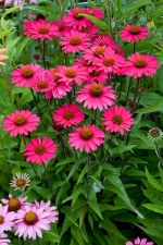 Coneflower, Sensation Pink, 1g