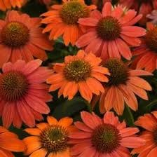 Coneflower, Red Ombre 1g