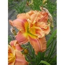 Daylily, Dbl Congo Coral 1or2g