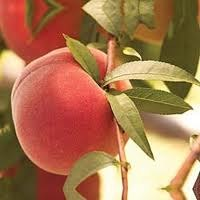 Peach, Contender, 5 gal