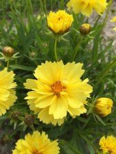 Coreopsis, Charlize, 1or2 gal