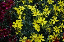 Coreopsis, Electric Avenue, 1g
