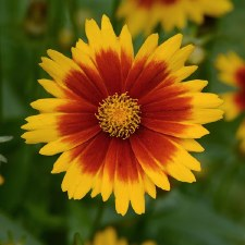 Coreopsis, Gold & Bronze 1or2g