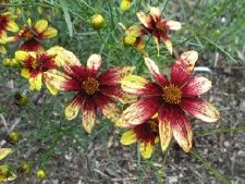 Coreopsis, Route 66, 1 gal
